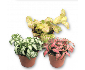 Fittonia, Mozaiekplantje, verschillende kleuren