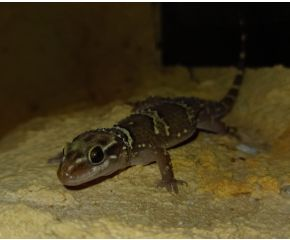 Hemidactylus triedrus UBN 6338257