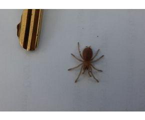 Brachypelma hamorii, Mexicaanse roodknievogelspin spiderling UBN 6338257