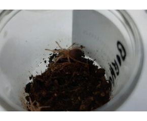 Brachypelma boehmei, Mexicaanse roodpoot vogelspin spiderling UBN 6338257