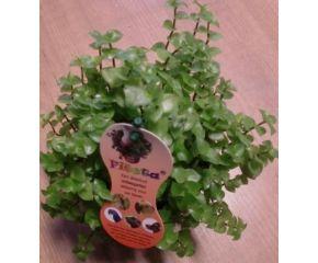 Fiesta, vitaminen plant