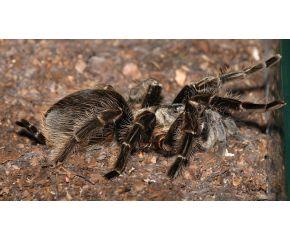 Tliltocatl albopilosum Spiderling, krulhaar vogelspin UBN 6338257