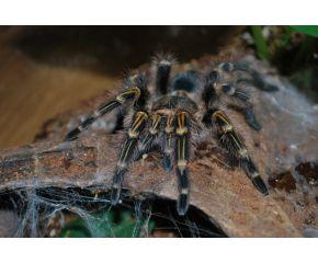 Grammostola pulchripes, Chaco goudknie vogelspin, Spiderling UBN 6338257