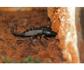 Heterometrus longimanus, Aziatische bosschorpioen UBN 6338257