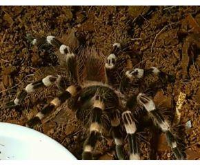 Acanthoscurria geniculata, Braziliaanse witknievogelspin UBN 6338257