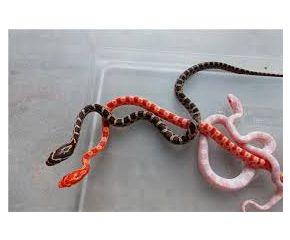 Pantherophis guttatus, Korenslang/ Rode rattenslang, widlkleur small UBN 6338257