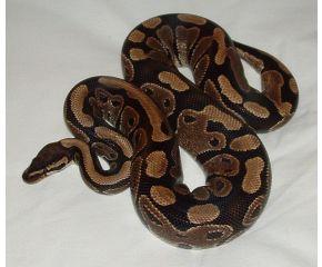 Python regius, koningspython small UBN 6338257