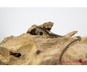 Takydromus sexlineatus, langstaarthagedis UBN 6338257