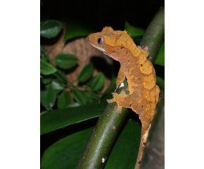 Correlophus cilliatus, Wimpergekko UBN 6338257