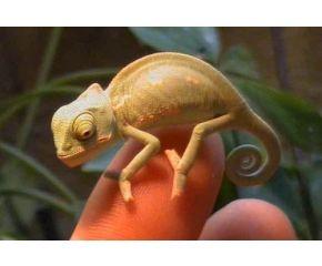 Chamaeleo calyptratus, Jemen kameleon UBN 6338257