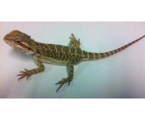 Pogona Vitticeps, baardagaam small UBN 6338257