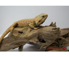 Pogona Vitticeps, baardagaam medium UBN 6338257