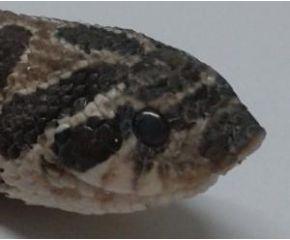 Heterodon nasicus, haakneusslang UBN 6338257