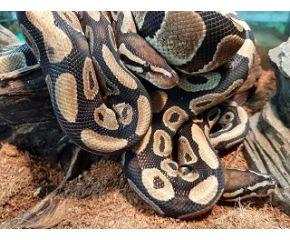 Python regius, koningspython medium UBN 6338257
