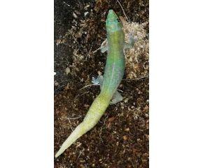 Phelsuma laticauda, Goudstofdaggekko  UBN 6338257