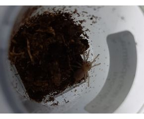 Brachypelma vagans, Mexicaanse roodrompvogelspin, spiderling UBN 6338257
