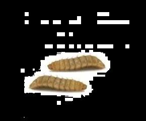 Doosje phoenixwormen (calciwormen)